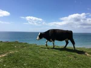 Cow on the Clifffs